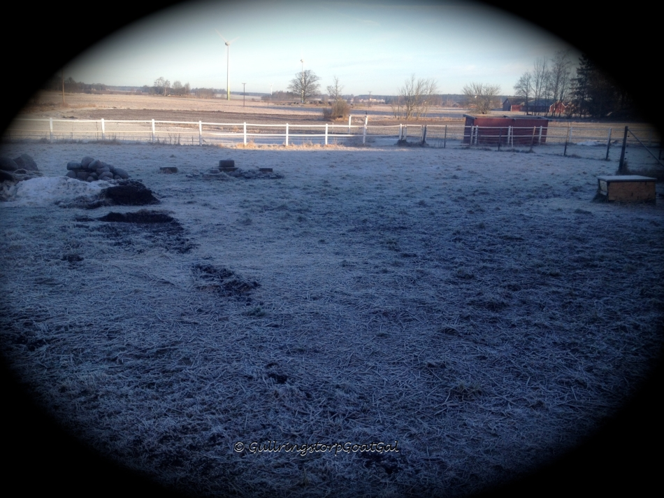 The mounds of tractor  moved snow have melted butt just look at that frost. Too bad the goats couldn't go out yet again today.