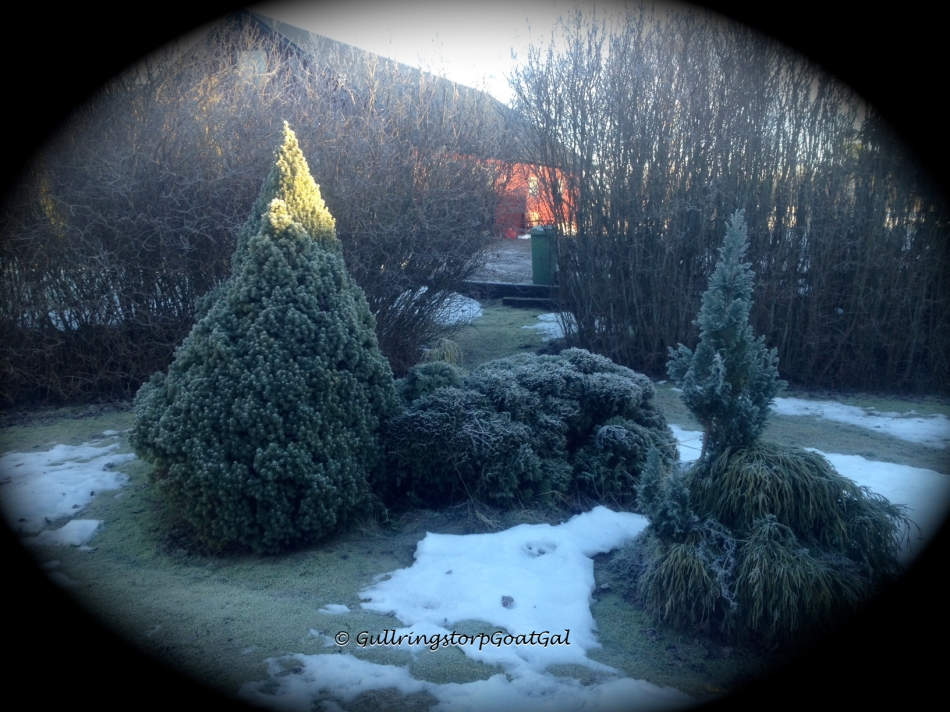 Frost on my little nome trees and hedges