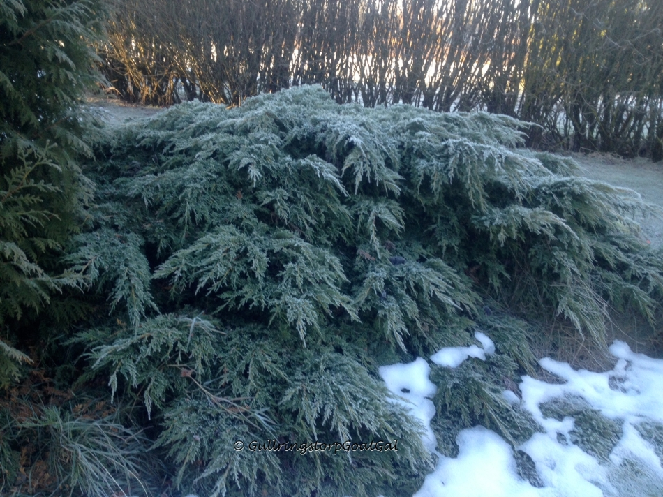 Frosty evergreen bush