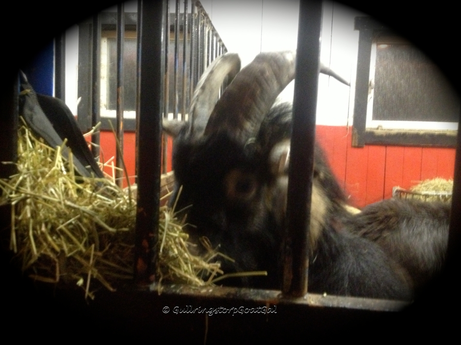 Little Man my Gentle Giant having some hay