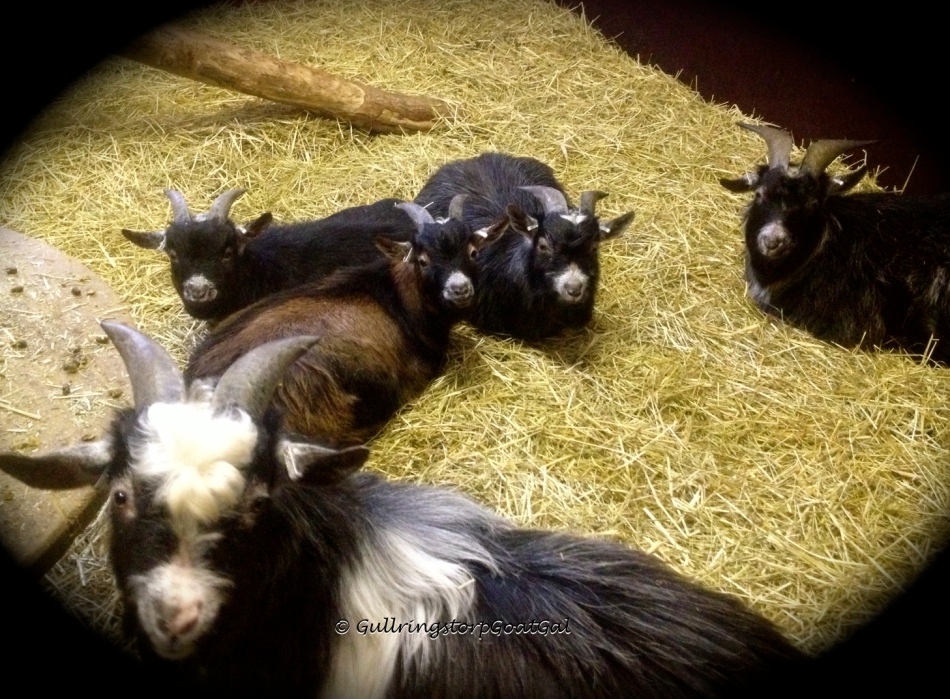 I really love to see my goats relaxed, happy and comfortable under our care