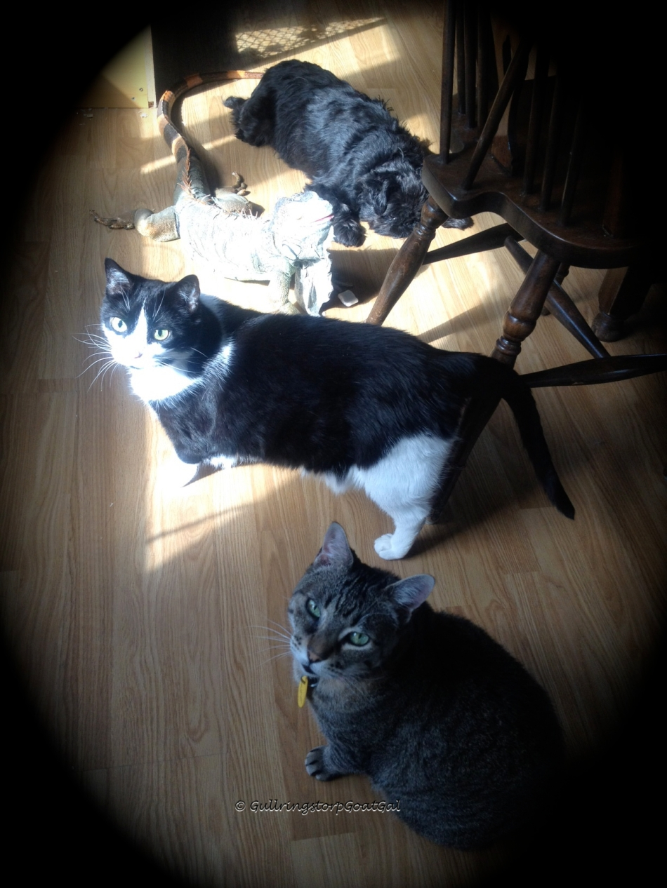 Here we have several members of the Gullringstorp critters enjoying the sun spot: Pumpkin, Juliet, Little Lady and Max