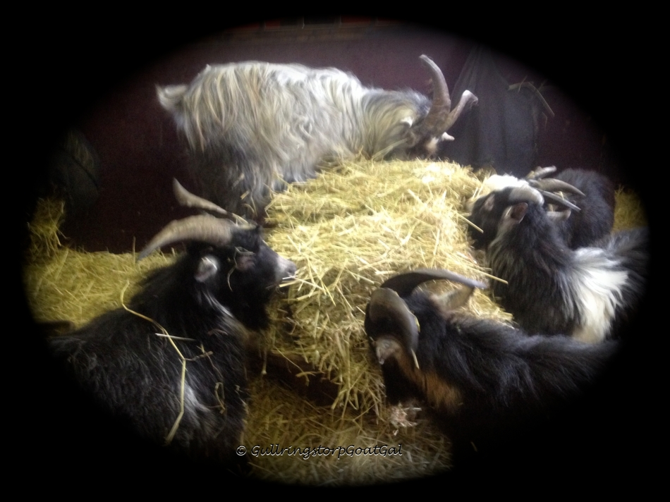 Winston & Phillip were still relaxing when the boys attached my hay I had just sat down to fill the hay rack and hay bags.