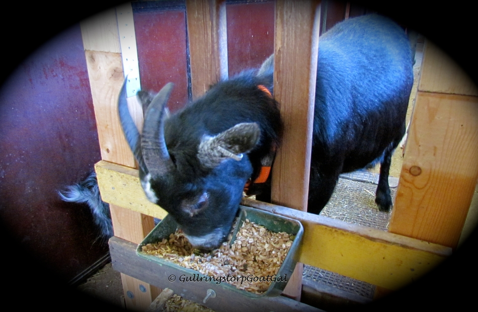 Peanut is a gentle and very sweet goat , just like her mother.