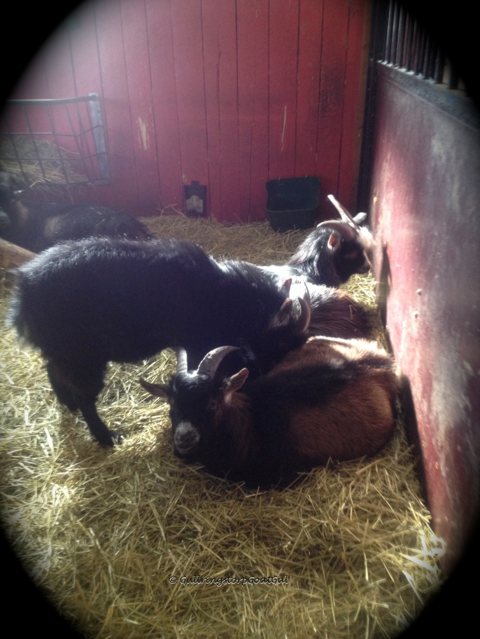 The boys were so relaxed when I entered the stable this morning