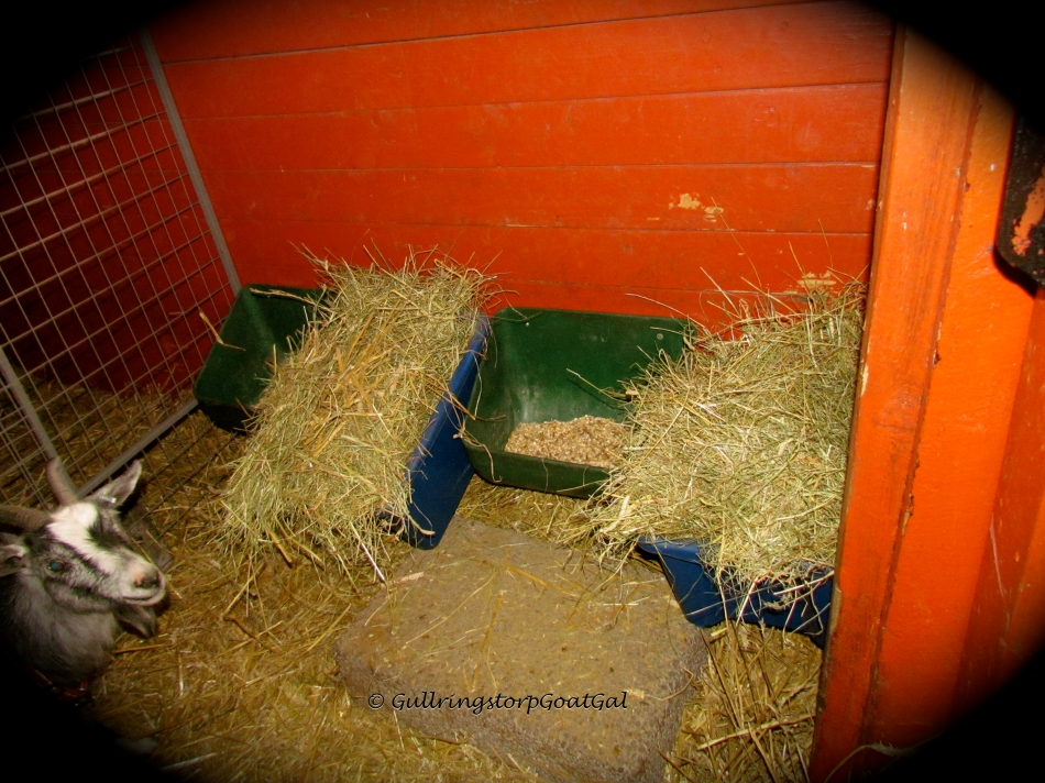 Iris' room mates, Petunia, Ivy and Surprise were out on the other side of the stable having fun with Nanna while we fenced off the box. We laso made some adjustments to their hay supply