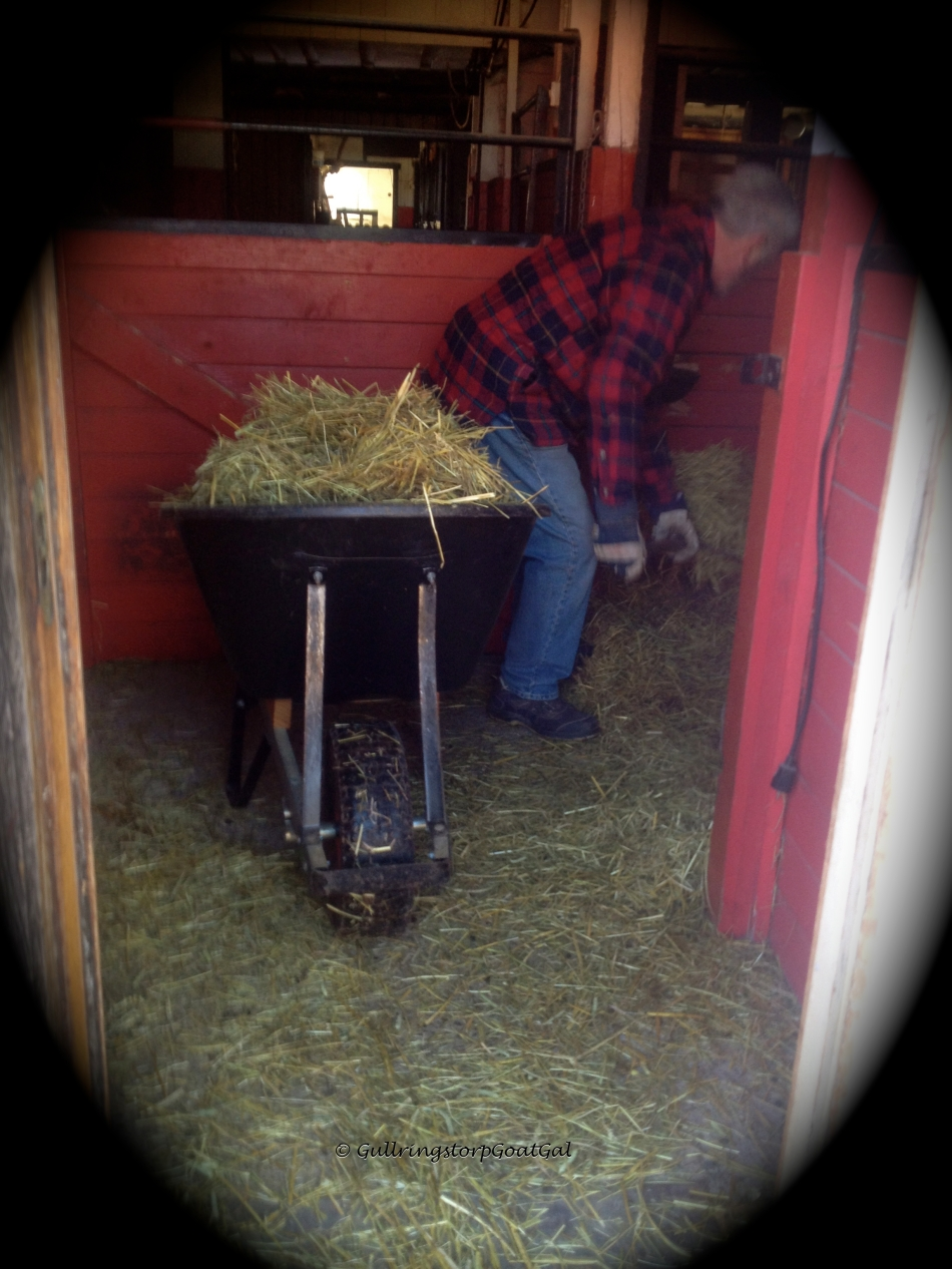 My husband uses a large whelbarrel to help in removing the old straw