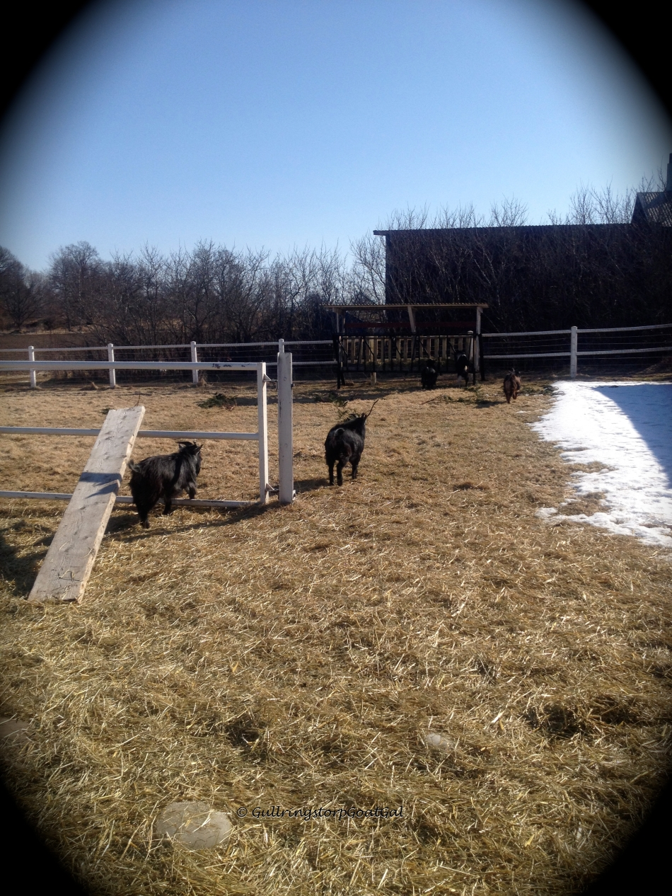 The boys have to walk a bit of a distance to get to the hay. They are used to the hay being in 4 piles on the ground just inside the gate.