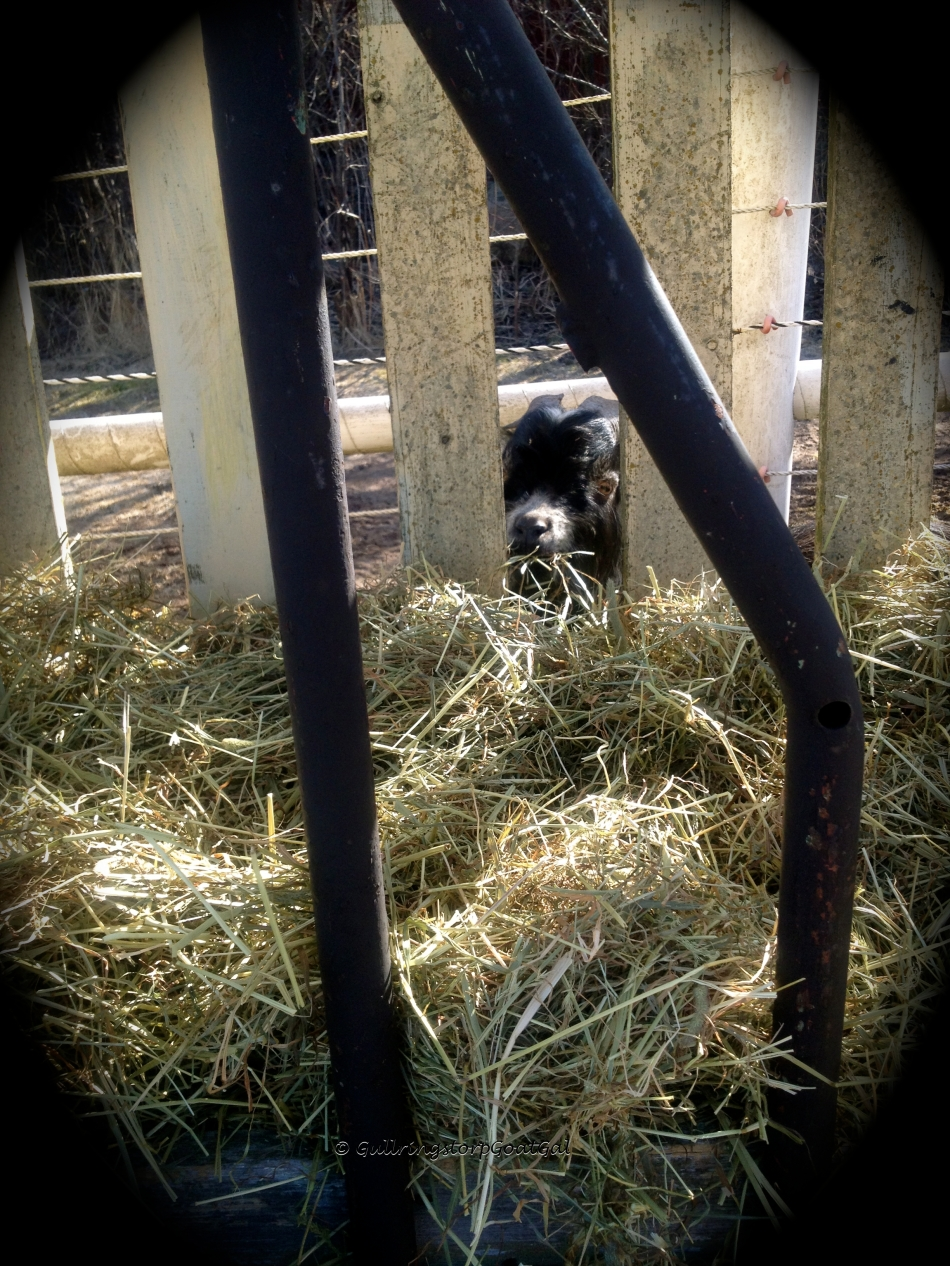 Winston decided to try the back side of the hay rack. He was lucky the power hadn't been turned on yet. If he tries it later, he will have a shock to that cute little bottom