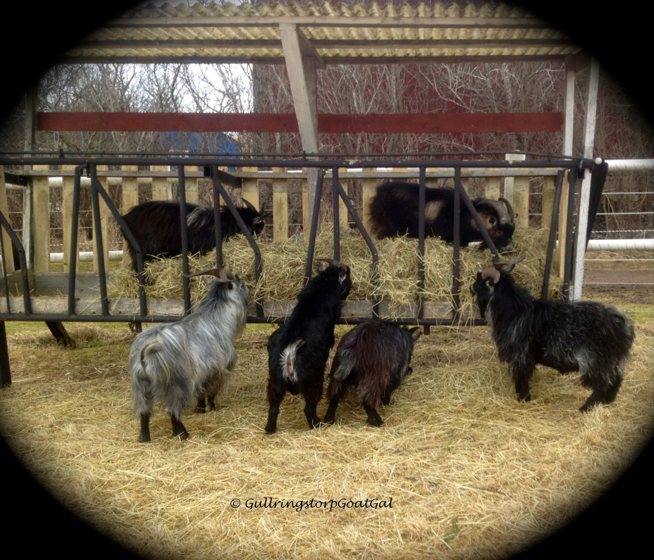 I led the boys over to their new hay rack and they followed like little I was the pied piper.