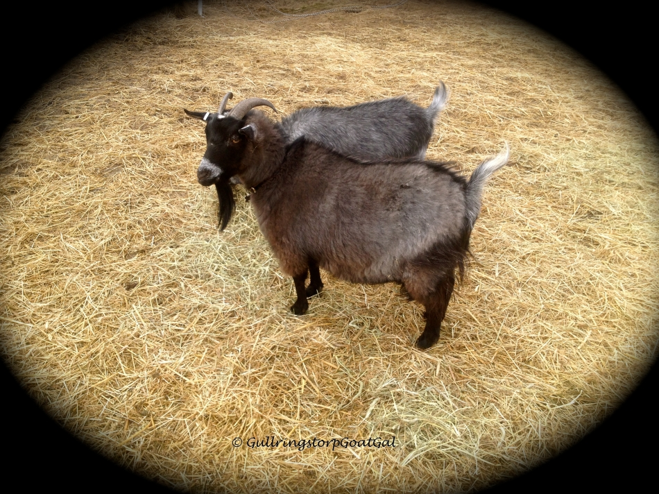 Keriana's fur is taking a dramatic turn in looks, color and texture. She is a mixed breed goat with mother Frida a full bred Nigerian Dwarf and her father Julius was a white pure bred Swedish Lantras goat.