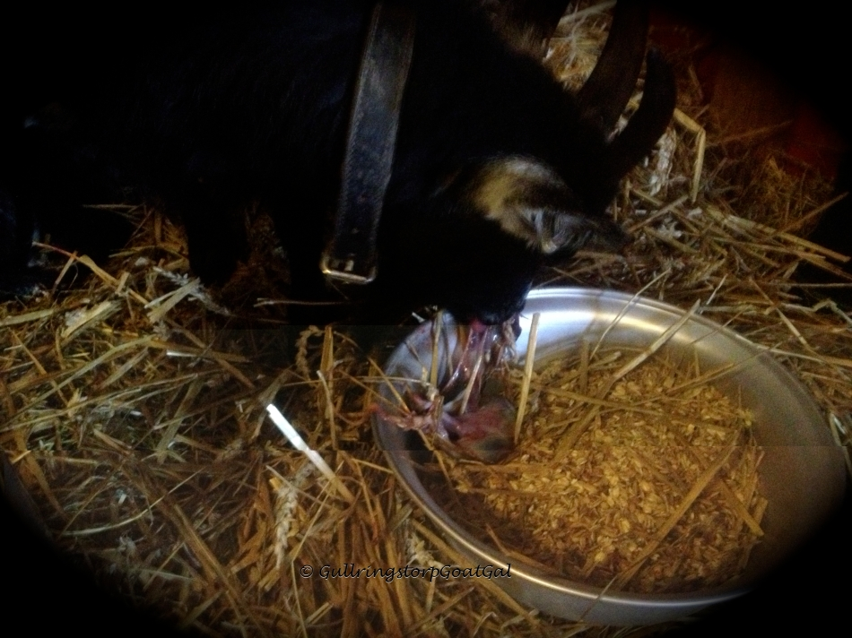 Poppy got her warm molasses water, grain and she cleaned up her after birth as every mother does