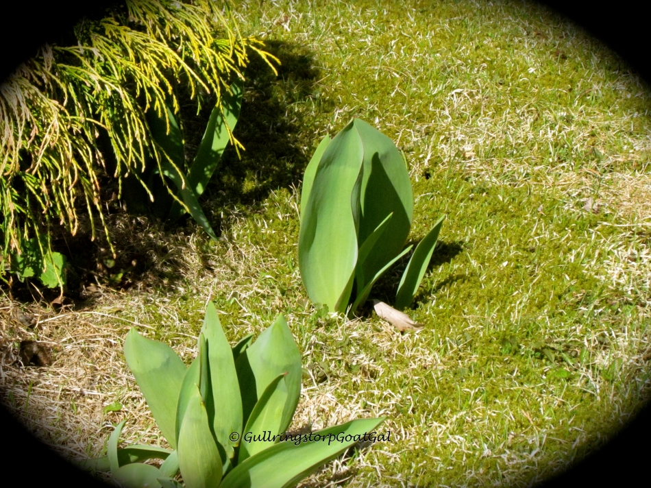Tulips are finally coming up