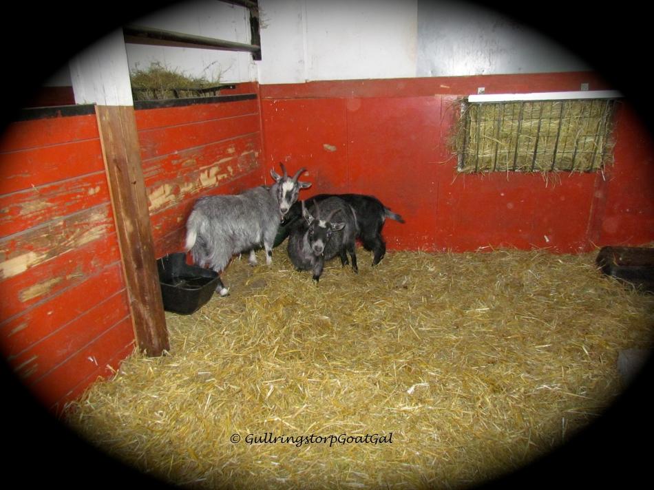 Oh no, not again! Look at my little ladies cowering in the corner , again!