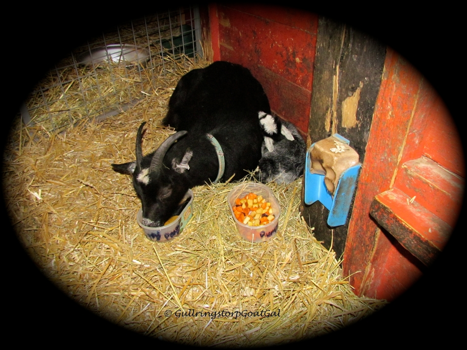 Pansy gets the Gullringstorp birthing molasses and chopped veggies and fruit