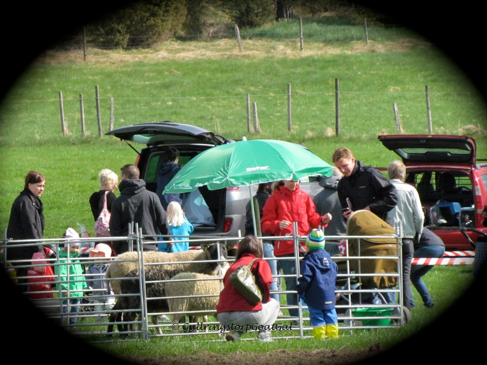The sheep in the pen got lots of visitors