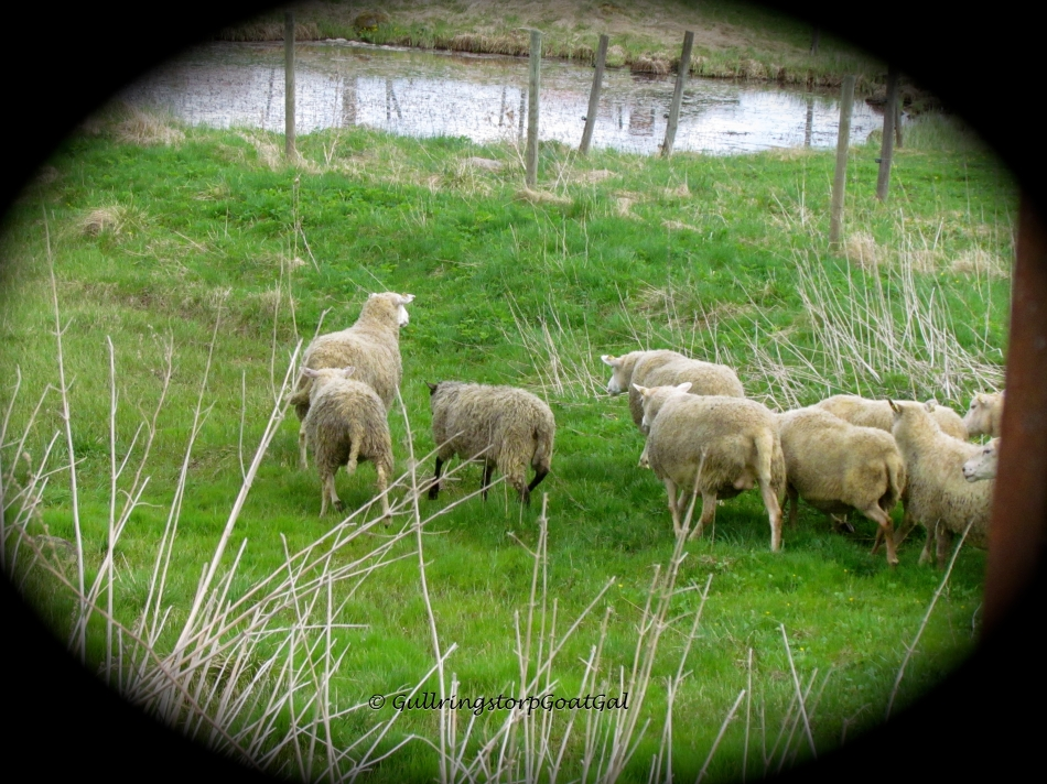 Sheep in the Spring green grass