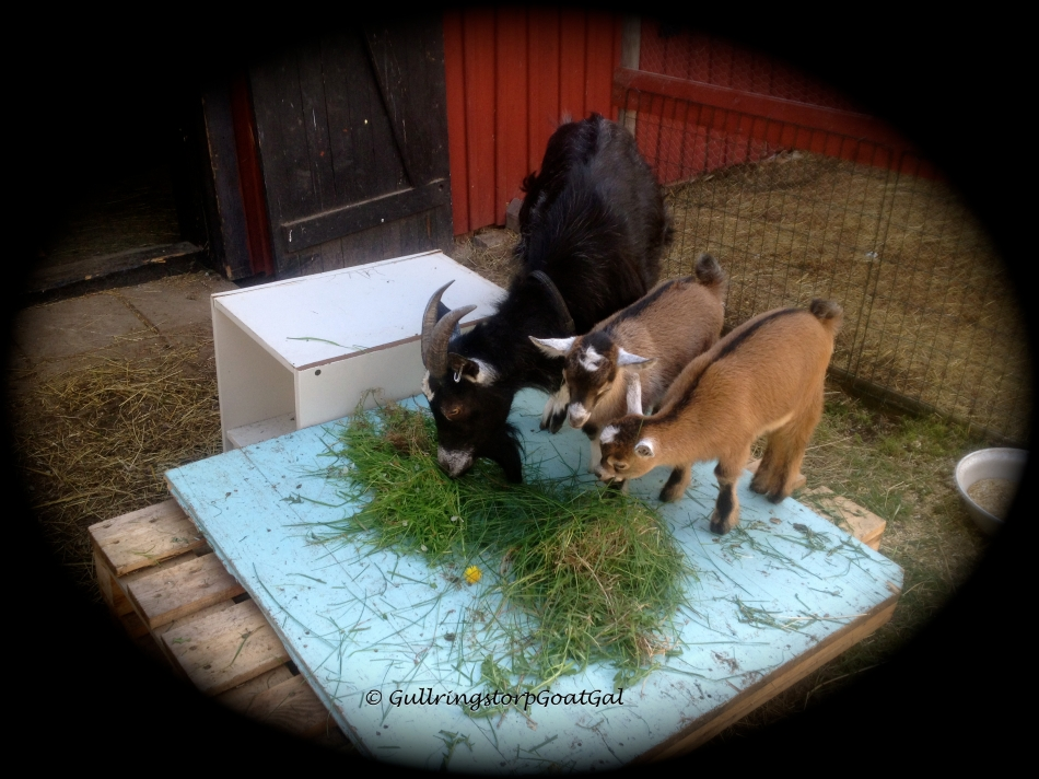 Pumpkin and her daughters enjoy fresh picked greens