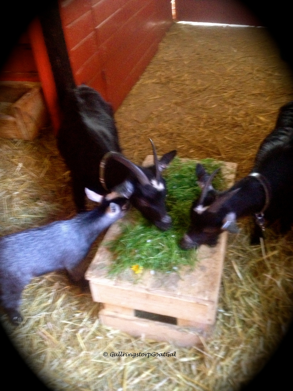 Poppy, Pansy and little Lilly enjoy fresh greens
