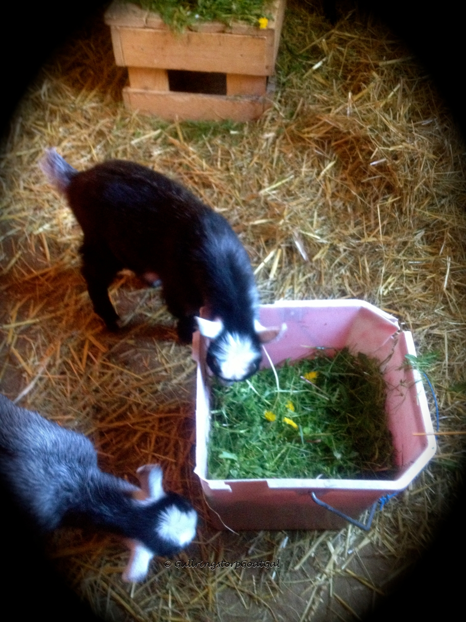 the babies find the bucket of greens interesting