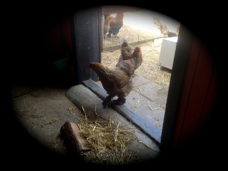 A curious hen