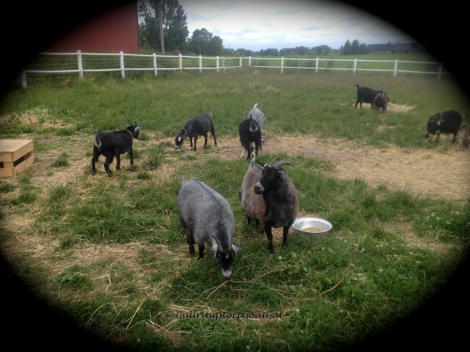 Because the guests stood at a comfortable distance, all our goats were very comfortable with them in t he enclosure