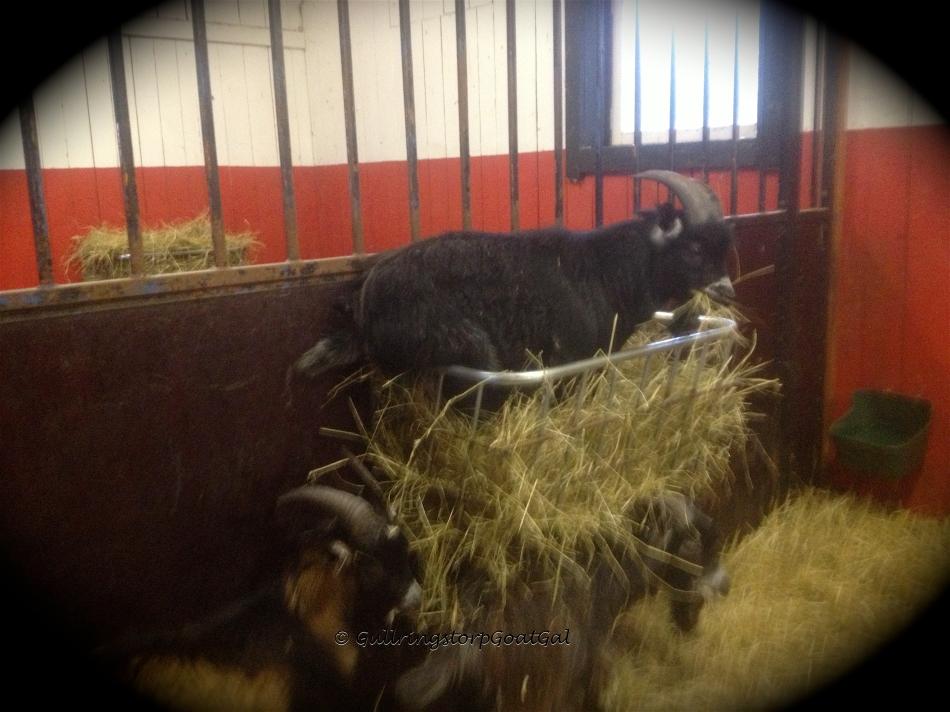 Winston in the hay rack