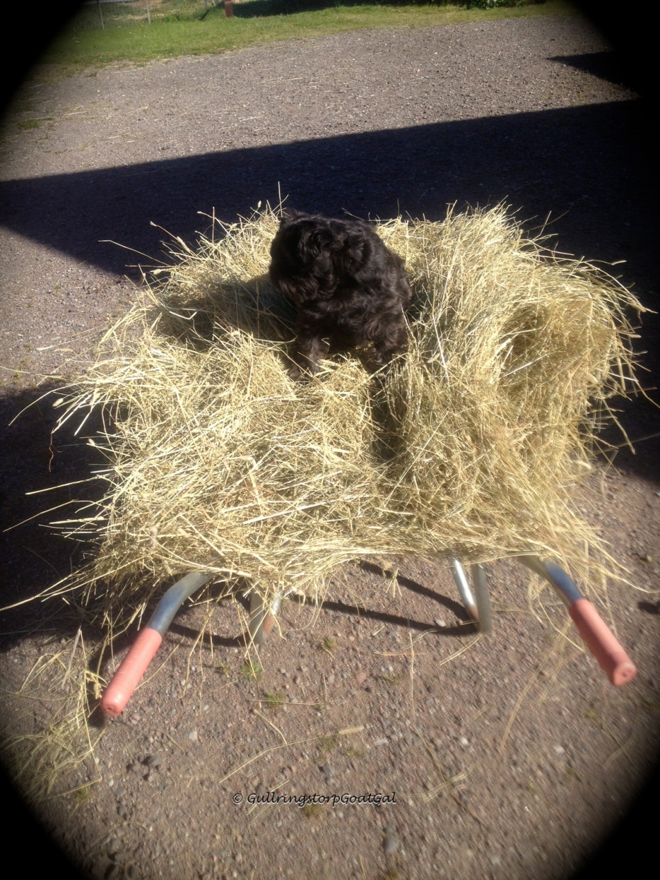 This is how we transport hay outside to the enclosure. We have a huge bale that we need to pull the hay off so it is loose in the wheelbarrel. Max loves to help and rides the hay pile , everyday.