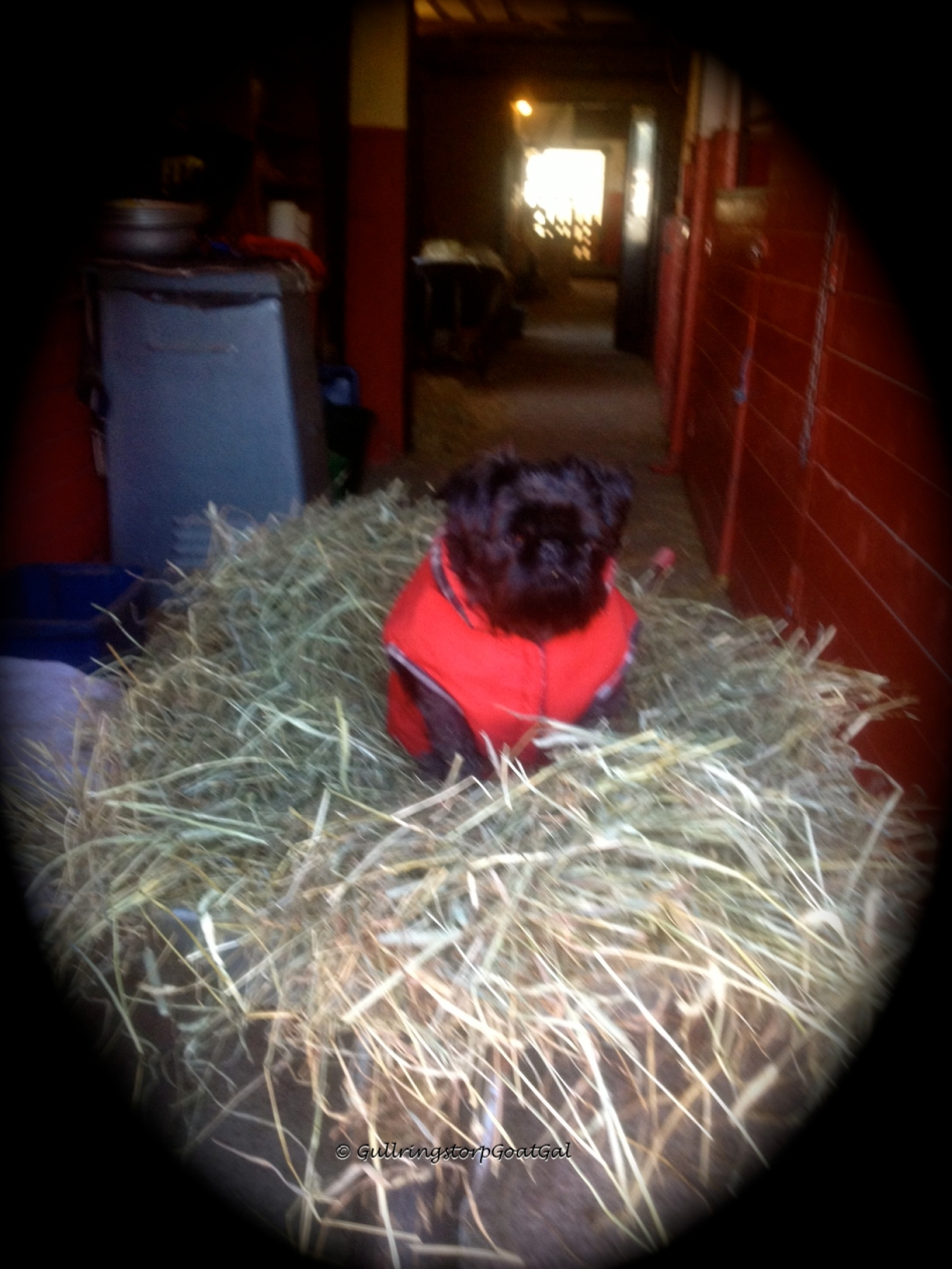 Max my little helper and I are ready with the hay