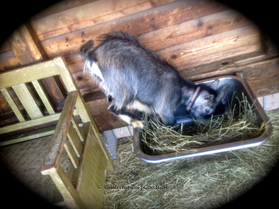 Fun eating hay from the sink in the shelter