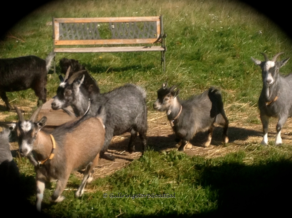 Florian is very much a part of this little herd with in a herd, the Pygmy goats