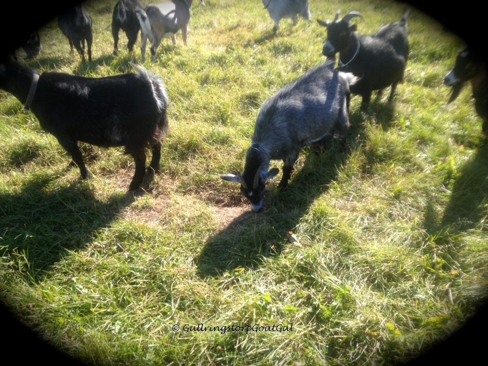 Goats know when they need a to add more minerals to their diets, so they eat dirt