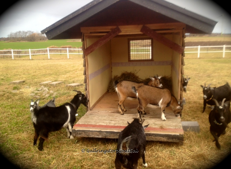 How many goats can you fit into a play house?