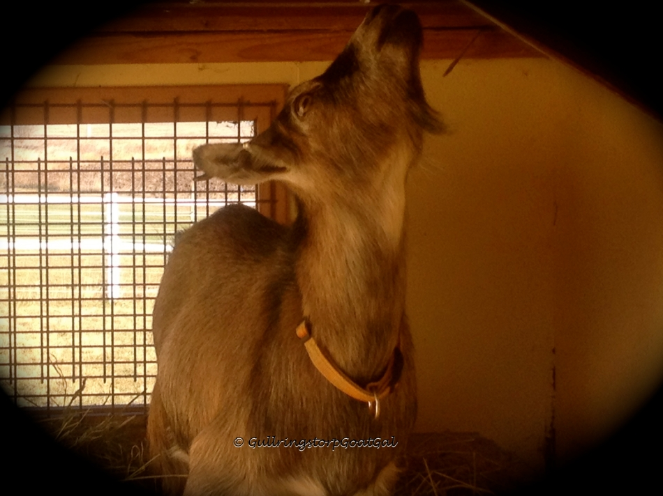 Some goats like Iris, thought the house was not only cute and fun, but delicious!