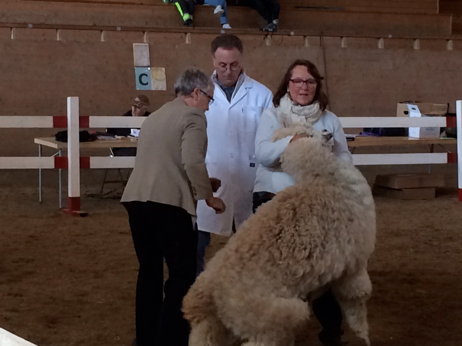 Some alpacas are not comfortable in the ring